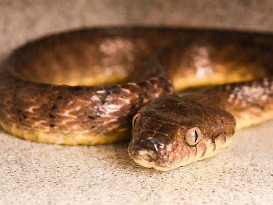 A brown tree snake photographed at the Pacific Daily