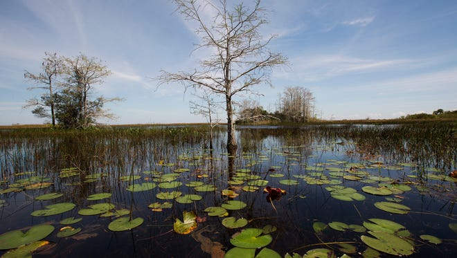 Lily pads and a cypress tree make up the landscape in Water Conservation Area 3A next to a tree island that is used by the Miccusukee Indian Tribe.  Betty Osceola, a member of Miccusukee Indian Tribe of Florida who runs airboat rides in the area says that the water level is four feet higher than normal for this year in this spot.  High amounts of rain fall and releases from Lake Okeechobee are to blame. Osceola is worried about the future of the lands.