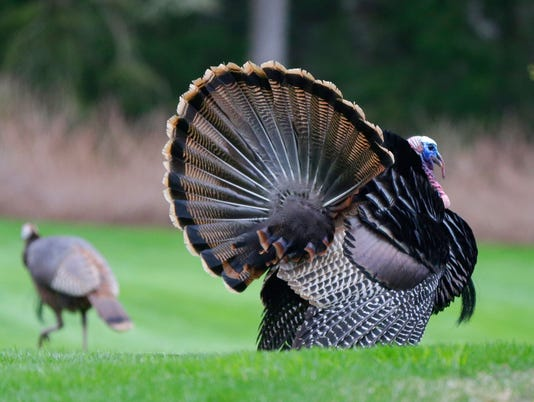 636055156770325273-wildturkey.jpg