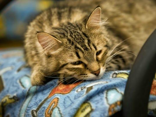 Tabby cat 1 fr