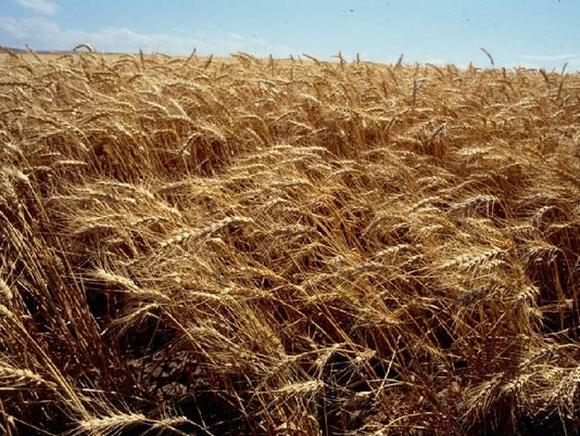 635703193007866205-SALBrd-05-30-2013-Statesman-1-C005--2013-05-29-IMG-SAL0530-wheat-1-1-A0491JE1-L234891450-IMG-SAL0530-wheat-1-1-A0491JE1