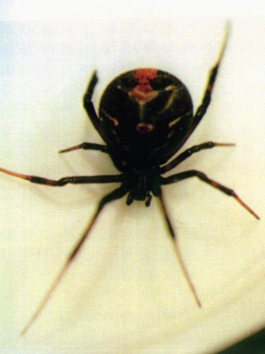 635773242500389996-JAPAN-SPIDER-SCARE
