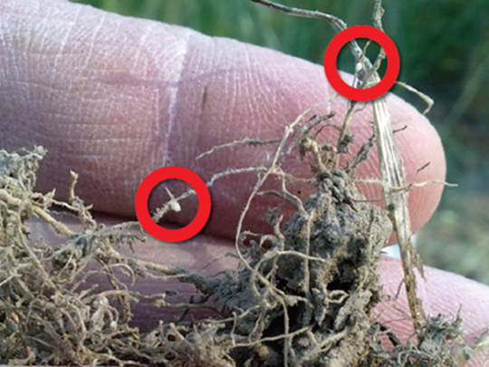 Pinhead size cysts found on the roots of affected wheat and barley plants are an indication of cereal cyst nematode infestation.