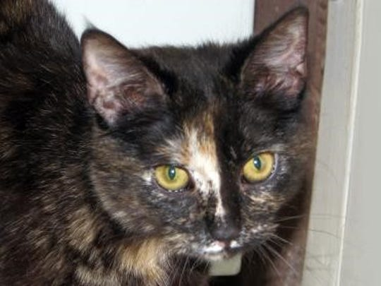 Bianca is an affectionate tortoise shell cat who was waiting for adoption at the Humance Society of Lincoln County shelter on Gavilan Canyon Road.