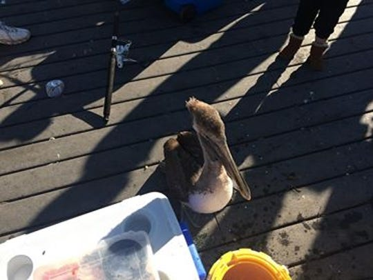 Pete the pelican stands on a deck after being rescued