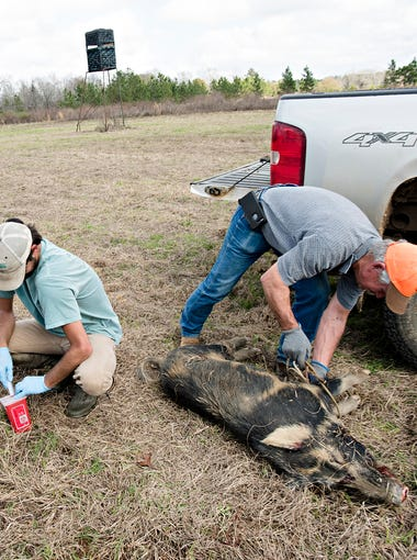 From left, Clayton Glassey, USDA employee, and Ty Baker, USDA employee, gather blood samples and DNA from a hog shot by the USDA from a helicopter as Mike Blake, Grey Rock Ranch farm manager, ropes the hog during a USDA feral swine control program at the Grey Rock Ranch in western Autauga County on Thursday, Feb. 22, 2018. The USDA feral swine control program was to reduce feral swine as part of the National Feral Swine Damage Management Program aimed at stabilizing and then eradicating feral swine, which are considered an invasive species.