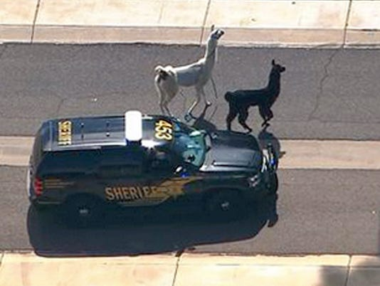 ODD Llamas On The Loose