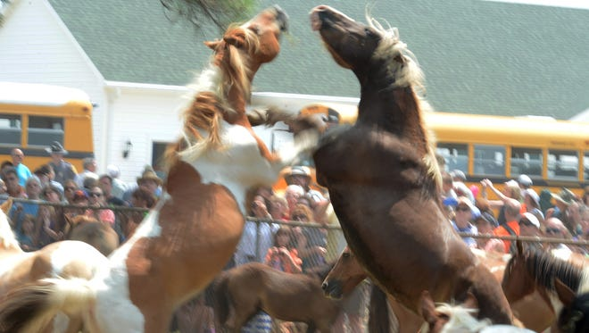 In this photograph dated Wednesday, July 30, 2014, a pair of Chincoteague Pony stallions scuffle after their 89th annual Chincoteague Pony Swim. At right is the Chincoteague Pony known as Surfer Dude, who passed away in 2015.