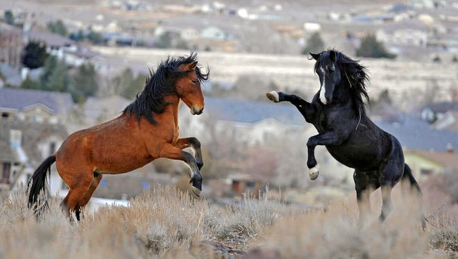 In this Jan. 13, 2010 file photo, two young wild horses play while grazing in Reno, Nev. Wild horse advocates say President Trump's new budget proposal would undermine protection of an icon of the American West in place for nearly a half century and could send up sending thousands of free-roaming mustangs to slaughter houses in Canada and Mexico.