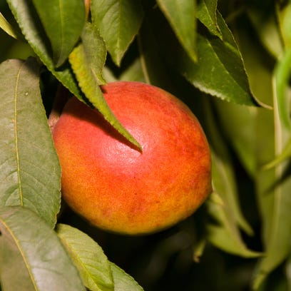Yellow variety nectarines, such as 'Fantasia, have