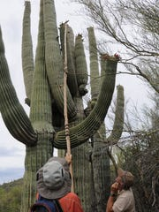 A long picker is required to harvest saguaro fruits.