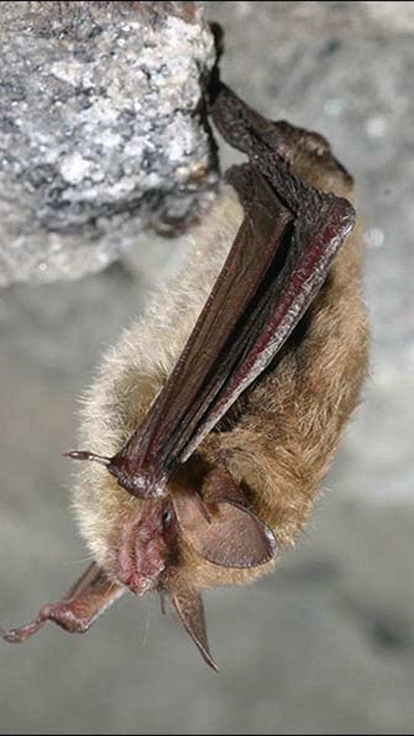 A Northern long-eared bat, seen here, is being proposed