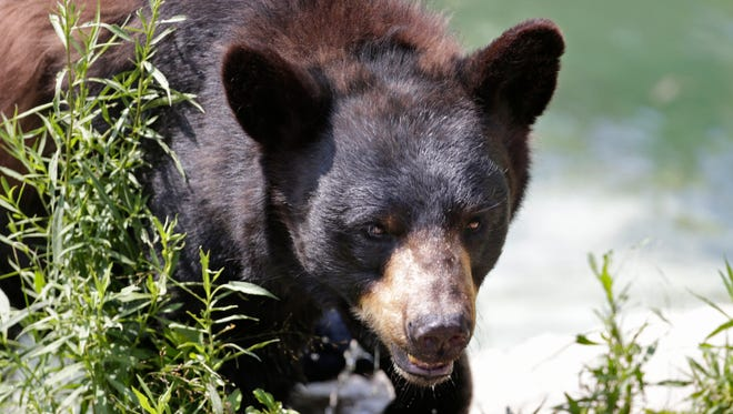 A black bear is seen at the Maine Willdlife Park in New Gloucester, Maine on July 25, 2014. On Nov. 4 Maine voters decide on a proposal to ban the use of bait, dogs, and traps to hunt black bears.