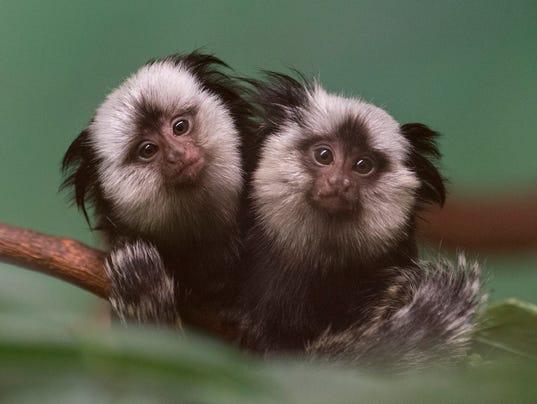 AP Marmoset Twins