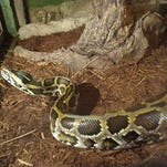 A Burmese python shown in its new home at new Diversity of Life Building at Dickerson Park Zoo.