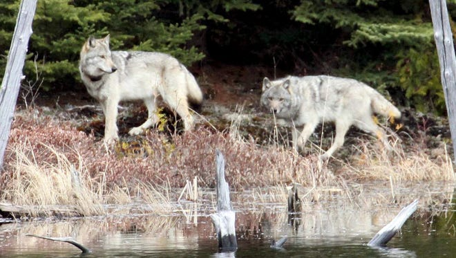 In this February 2012 file photo provided by George Desort, two gray wolves walk in the Isle Royale National Park in Northern Michigan.