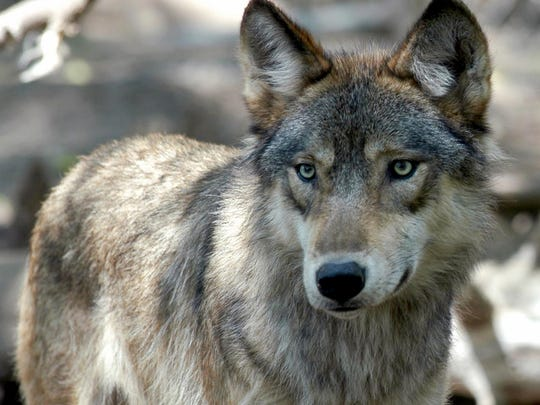 In this July 16, 2004, file photo, a gray wolf is seen at the Wildlife Science Center in Forest Lake, Minn.