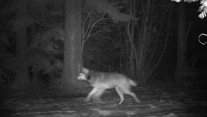 The wolf OR22, seen here, was shot and killed south of John Day on Oct. 6.