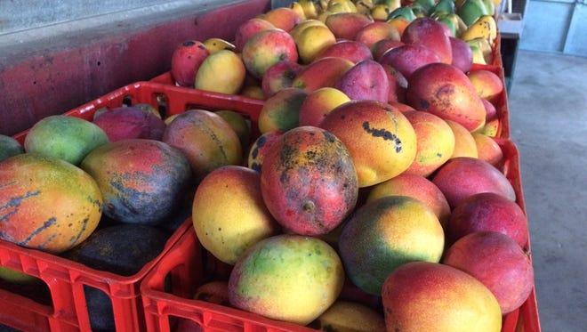 Crates of Haden and Valencia mangoes await pickup last year at The Mango Factory in Bokeelia.