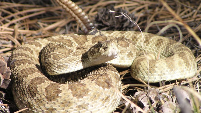 A rattlesnake coils up along the Sundance Trail at Carter Lake in this file photo.