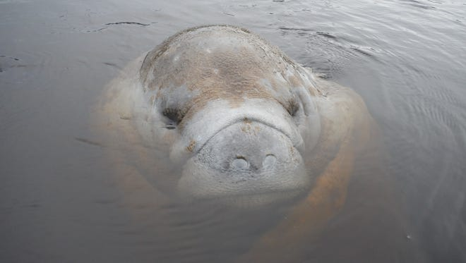 A manatee at rest near the surface. The state counted a record 6,250 manatees in Florida waters this year.