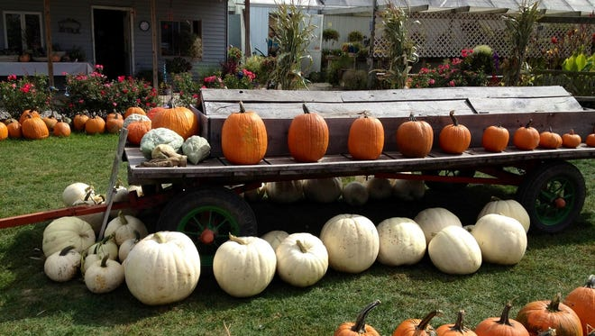 Pumpkins of all shapes, sizes and colors are lined up at Kroul Farms in Mount Vernon.