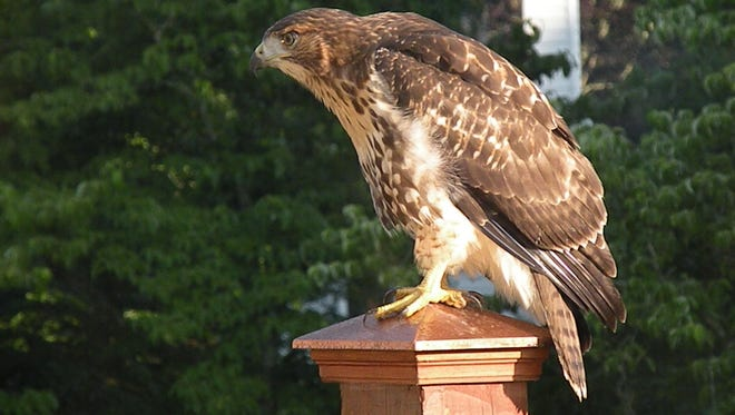 The hawk has been visiting backyards in the Benington subdivision in West Knoxville for the past several days.