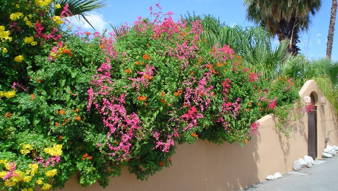 Dress up your hedge by adding a seasonal accent with Antigonon to give it more color and interest.