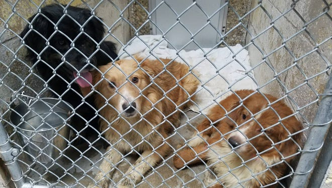 These dogs were among 52 rescued and taken to Safe Harbor Humane Society in Kenosha.