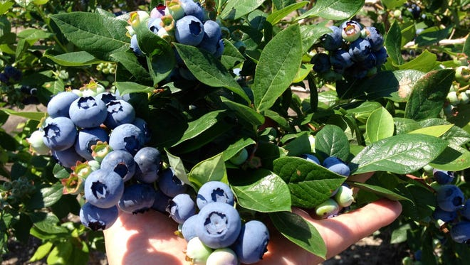 """One of several destinations claiming to be the Blueberry Capital of the World, NJ.com says Hammonton, N.J., is more accurately the """"fresh blueberry capital of the world."""" Taste the local specialty at DiMeo Farms, which offers """"organic, Non-GMO, Heirloom blueberries"""" and """"u-pick blueberries on [a] 100-year-old family blueberry farm and blueberry plants nursery."""""""