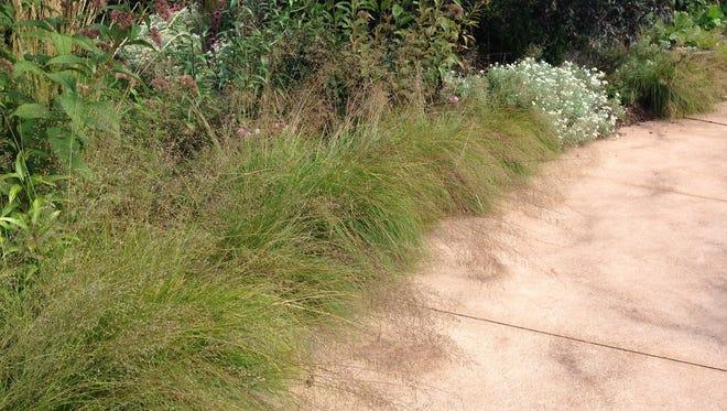 Prairie dropseed, a native prairie perennial with silvery seed head provides an excellent border accent.