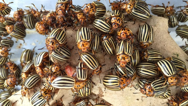 Managing the potato beetle costs tens of millions of dollars every year, but this is a welcome alternative to the billions of dollars in damage it could cause if left unchecked.