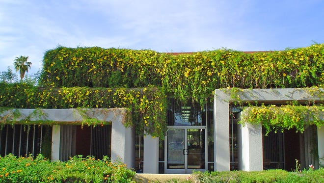 The Mizell Senior Center in Palm Springs was home to an enormous cats claw creeper until it became too invasive.