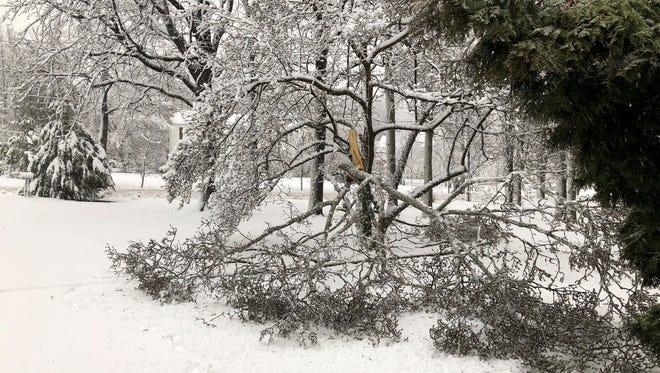 A split tree in Colonia.