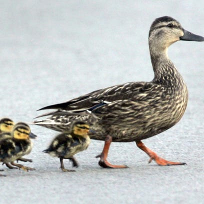 A family of ducks crossing a road, such as these seen