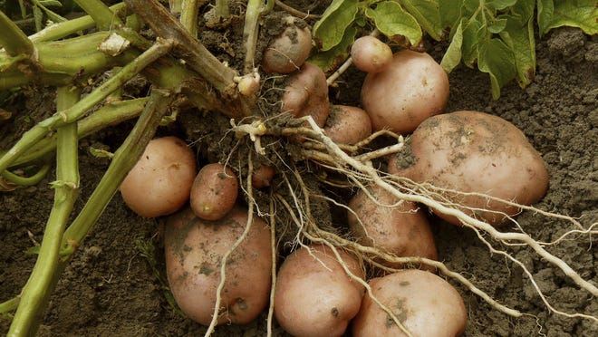 Did you know that a dozen well-tended plants can yield as much as 60 pounds of potatoes?