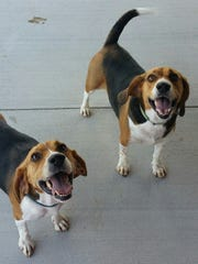Captain and Morgan are two, bonded, 4-year-old beagles who are the life of any party. Look at those faces! Talk about a fun duo. We want these two boys to go home together – we can't split them up. If you've got the right spot for these happy hounds, please stop out.