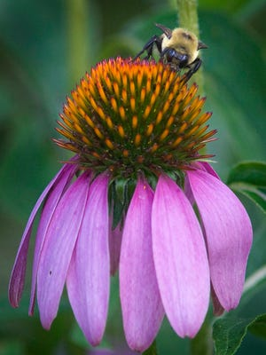 A bumblebee works on a cone flower