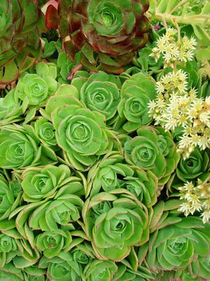 Aeonium is another succulent that has a great color and adds a lot to any decoration.