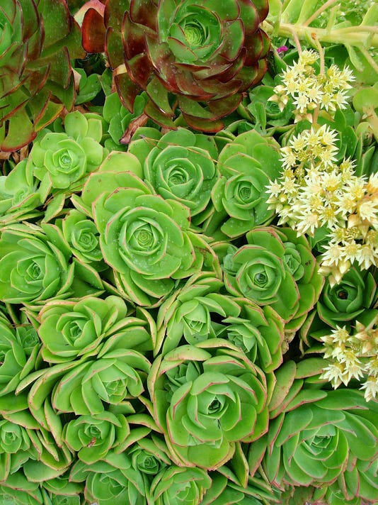 Succulents_green