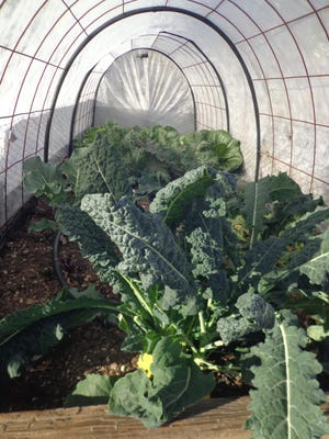 Raised beds with light row covers allow your winter greens to mature pest free.