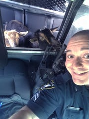 Sgt. Daniel Fitzpatrick of the Belfast Police Department in Belfast, Maine drives around with two lost goats in his police car on Sunday, April 23, 2017, looking for their owner. The goats were walking on a road in town and then entered a woman's garage before Fitzpatrick picked them up. The owner's daughter saw a police Facebook post about the lost goats and came down to the station to retrieve them.  (Sgt. Daniel P. Fitzpatrick II/Belfast Police Department via AP)