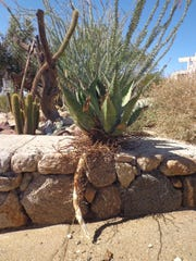 This excavated offset shows the root system of Agave