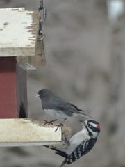 A variety of birds, including a downy woodpecker, enjoys black oil sunflower seeds at a Chester bird feeder.