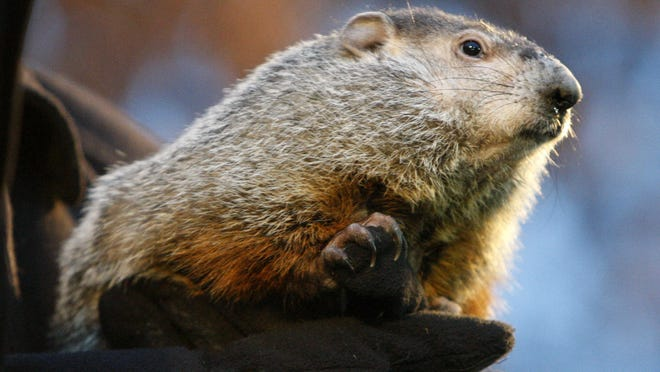 Punxsutawney Phil saw his shadow on Feb. 2, forecasting another six weeks of winter.