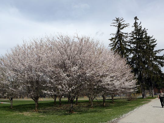 A ranger walks passed a row of blooming trees at the Franklin D. Roosevelt National Historic Site in Hyde Park April 17, 2017.