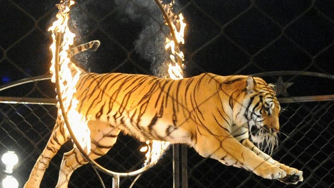 A tiger leaps through a flaming hoop during the Cole Bros. Circus in Vineland in 2012.