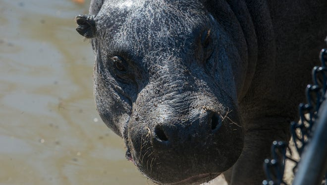 """I'm gonna stare right back at you,"" is what this pygmy hippo might say. The animals were showing their feelings at the Montgomery Zoo on Thursday, Feb. 4, 2016."
