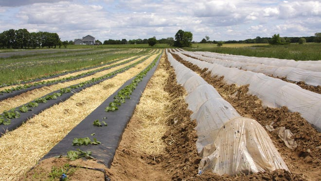 Svihel Vegetable Farm is around 700 acres large and grows a variety of produce including melons, berries and corn. Part of the farm is shown in this file photo from 2013.