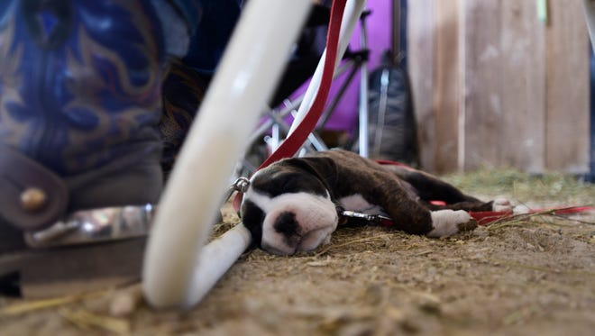 Sophia, a 6-week-old pit bull and bulldog mix, takes a nap in the heat at the Ottawa County Fair on Thursday afternoon.